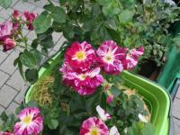 """Ungefüllte Rosen, hier """"Purple splash"""" sind bienenfreundlich."""